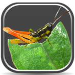 Grasshoppers of the Western U.S. Mobile App