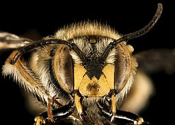 By USGS Bee Inventory and Monitoring Lab from Beltsville, Maryland, USA [Public domain], via Wikimedia Commons