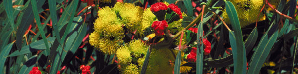 EUCLID Eucalyptus of Australia