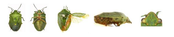 Key of the genus Chinavia Orian (Hemiptera: Pentatomidae)
